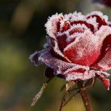 Подготовка роз к зиме: подрезка