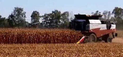 Уборка кукурузы на поле и консервация
