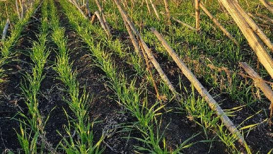 Прямой посев пшеницы по палкам