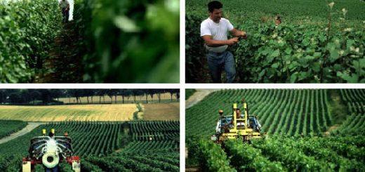 Распределение дигестата на винограднике