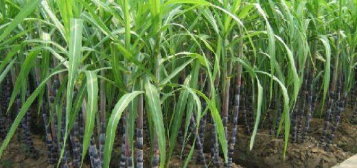 Система для посадки сахарного тростника Meiosi